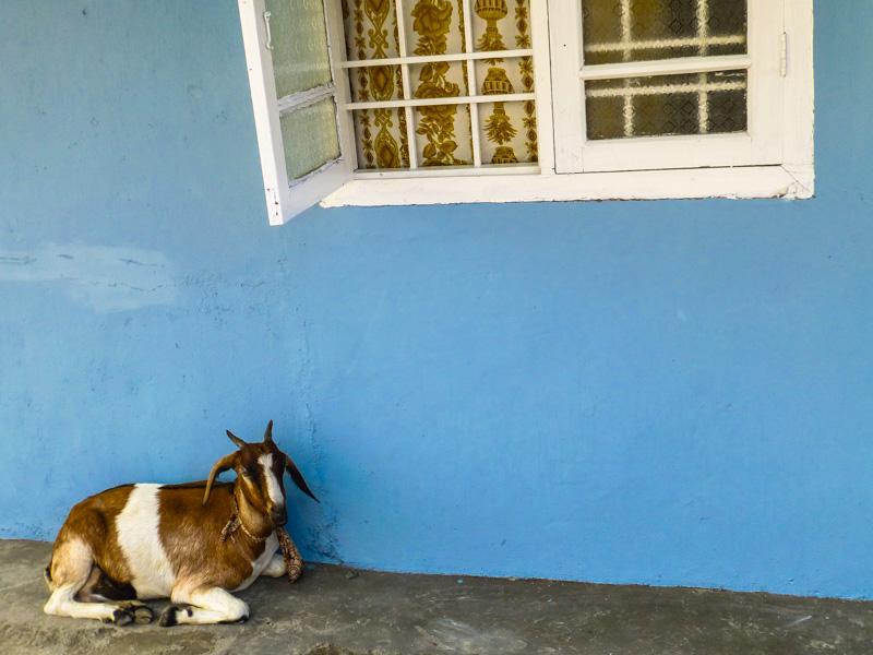 koza w Alleppy :)