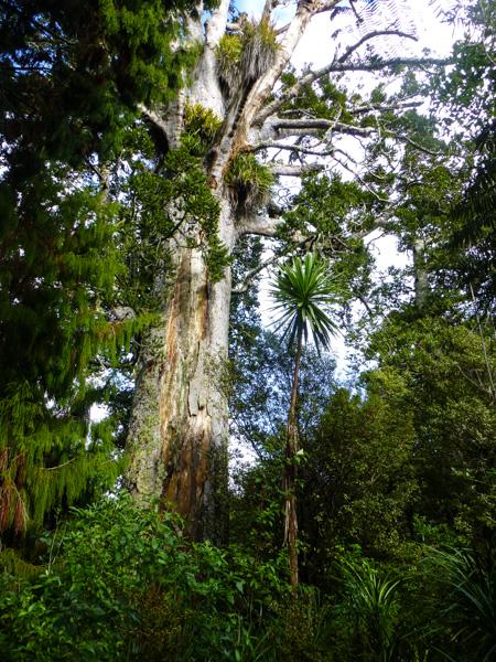 Drzewa kauri