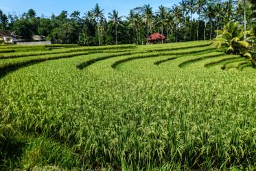 bali pola ryzowe