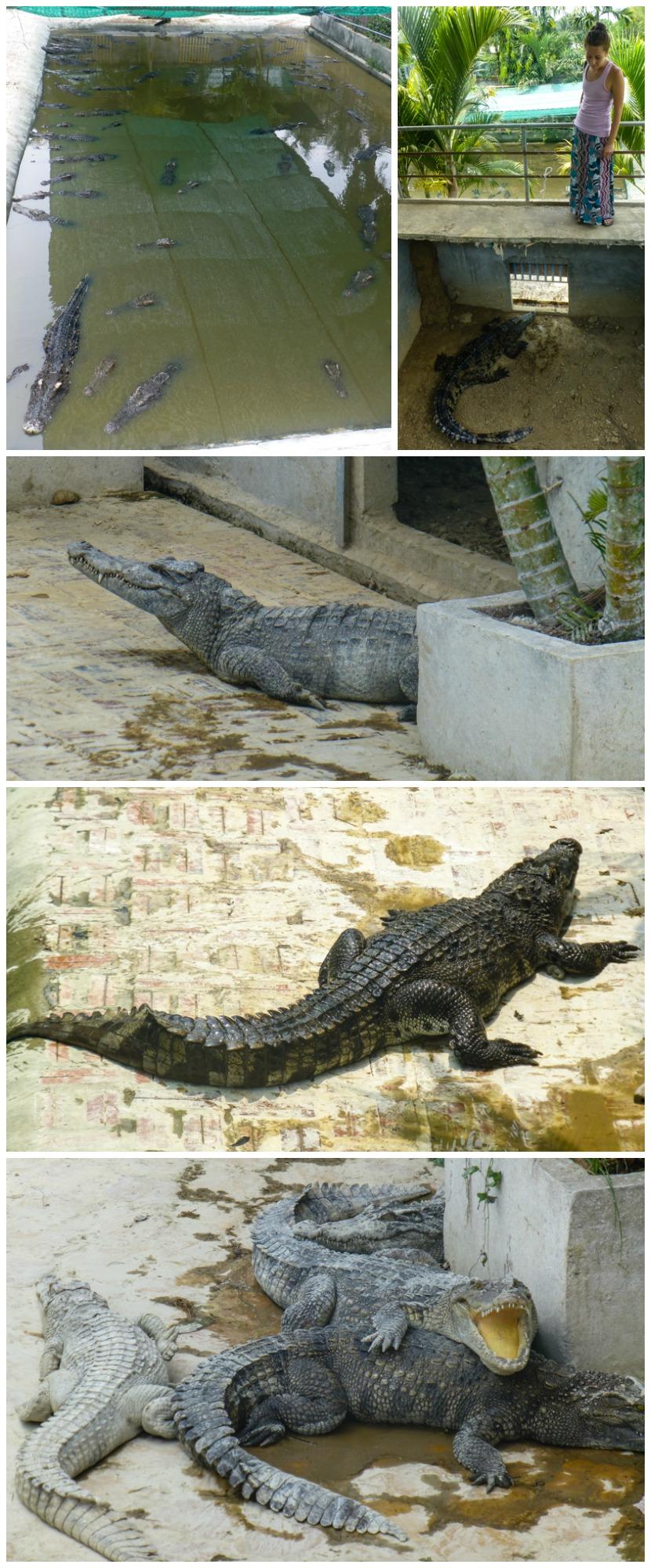 farma krokodyli kambodza