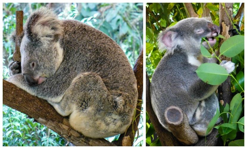 gdzie koala australia