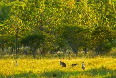 kangury australia