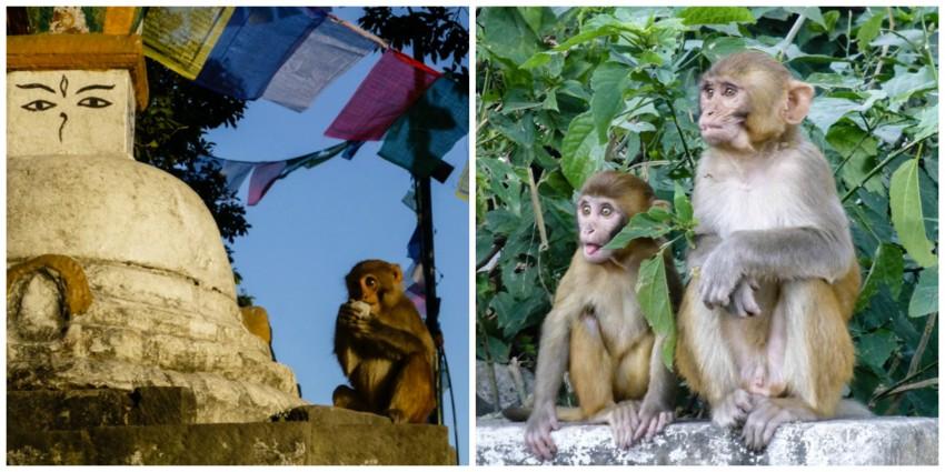 kathmandu małpy