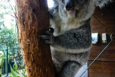 koala patrol