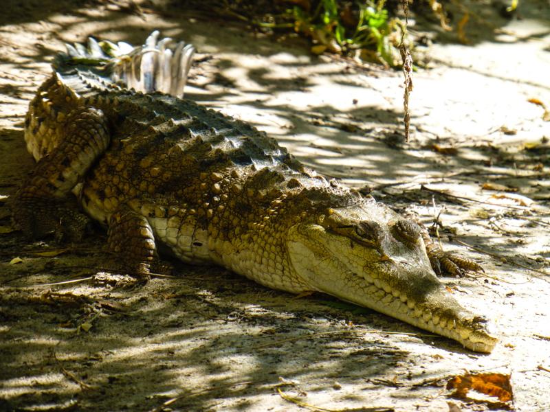 krokodyl slodkowodny