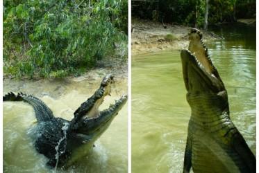 krokodyle w queensland