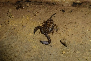 skorpion malezja