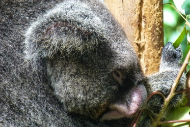 spiacy koala