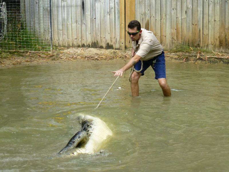 tresura krokodyla