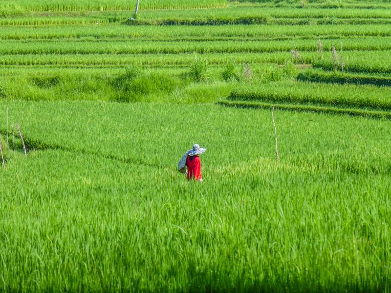 ubud pola ryzowe