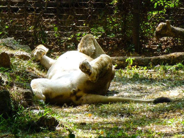 Słonie, żyrafy, węże, dziesiątki rodzajów małp. Niestety, byliśmy tam w pełnym słońcu i większość zwierzaków spała i miała nas w głębookim... poważaniu :)
